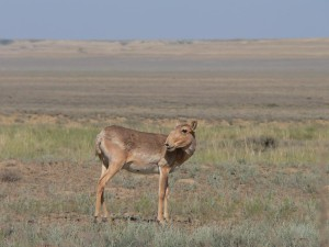Saiga Antilope in the Kazakh steppe