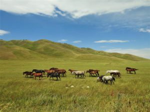 Free roaming horses, Kyrgyz-Kazakh borderlands